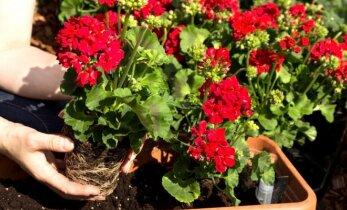 Tai, ko dar nežinojote apie kambarinių gėlių priežiūrą rudenį