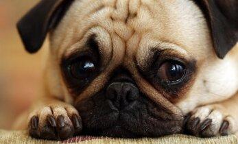 Ką išduoda gyvūnų nuojauta: nuspėja ligas ir užuodžia mirtį