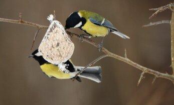 Gamtininkas pataria – rudens darbai paukščių mylėtojams
