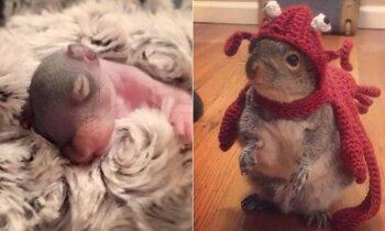 Lovoje rasta naujagimė voverė užaugo į mieliausią augintinę
