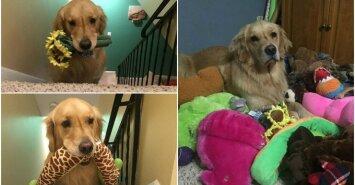 Šuo, miegantis su žaislais
