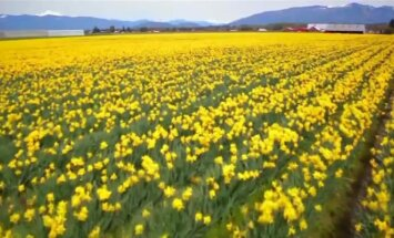 Tulpių festivalio lankytojus džiuginai milijonas spalvingų tulpių