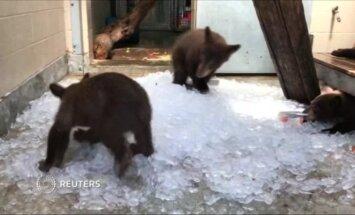 Trys meškiukai gaivinosi ledo gabaliukais