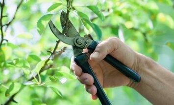 Kaip sodininkui-mėgėjui išvengti klaidų genint obelis