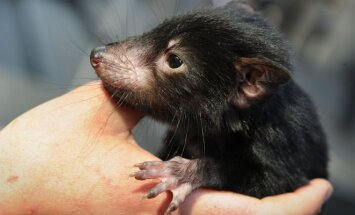 Tasmanijos velnio jauniklis