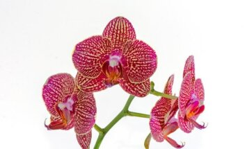 Tai, ko dar nežinojote apie orchidėjas