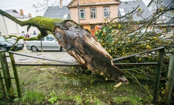 Vėjo nulaužtas medis