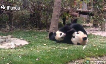 """""""Slaptas pandų gyvenimas (II): švelniau nebūna - besigalynėjančios pandos nepaliko abejingų"""