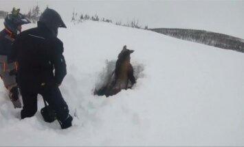 Niufaundlende išgelbėtas sniege įklimpęs briedis