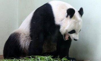Edinburgo zoologijos sodo panda Tian Tian