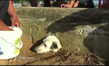 Peru išgelbėtas maisto ieškojęs ir įstrigęs šuo