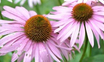 Rausvažiedė ežiuolė – dekoratyvus ir vaistinis augalas, jį labai mėgsta bitės ir kamanės, nes medingas.