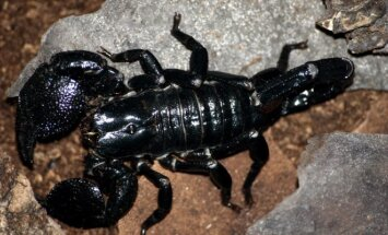 Imperatoriškasis skorpionas