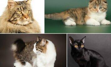 Meino meškėnų, škotų nulėpausių, Kurilų trumpauodegių, Bombėjaus veislių katės