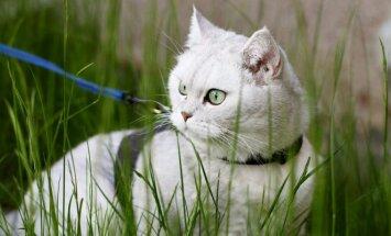 Katė su pavadėliu