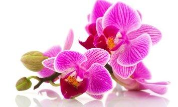 """<span style=""""color: #ff40ff;"""">KONKURSAS:</span> mano mylimiausia orchidėja"""