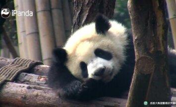 """""""Slaptas pandų gyvenimas"""" (XXXIII): ei, kas ten už ekrano?"""