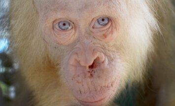 Orangutangas albinosas