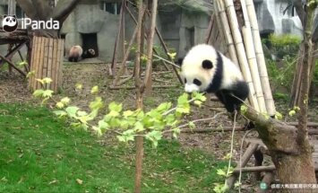 """""""Slaptas pandų gyvenimas"""" (XXXV): paneigti žemės traukos dėsnį"""