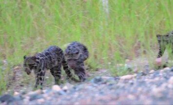 Malaizijos draustinyje nufilmuoti reti Borneo debesuotieji leopardai