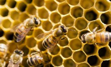 Bičių produktai – trys viename: maistas, vaistas ir nuodas