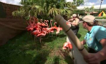 """Dėl uragano """"Irma"""" iš Majamio zoologijos sodo evakuoti rožiniai flamingai"""