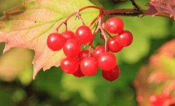 Gamtos gėrybės – sveikatai stiprinti: kaip paruošti ir vartoti