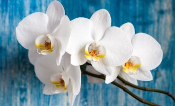 8 būdai, kaip greitai numarinti orchidėją