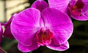 Jei norite, kad falenopsis džiugintų visus metus