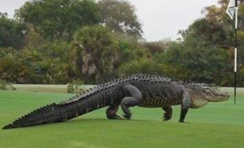 Aligatorius golfo lauke