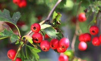 Gudobelės žiedai ir vaisiai: rūšių įvairovė ir panaudojimas