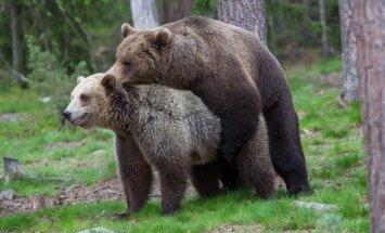 Pirėnų kalnuose įsitaisė itin seksualiai nusiteikęs lokys