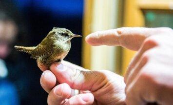 Ventės rage - asmeniškai sužieduotas paukščiukas