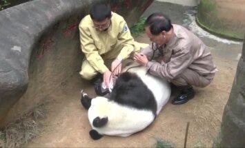 Kinijoje nugaišo seniausia pasaulio panda