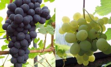 Vynuogininkai Gaigalai atskleidžia vynuogių auginimo Lietuvoje paslaptis