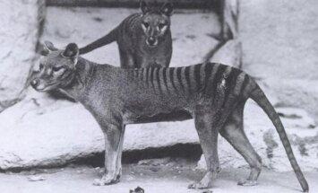 Paskutiniai Tasmanijos tigrai Vašingtono zoologijos sode 1906-aisiais