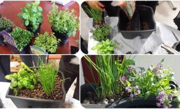 """<span style=""""color: #ff0000;"""">Puošiame balkonus ir terasas:</span> kaip pasodinti gražią prieskoninių augalų kompoziciją"""