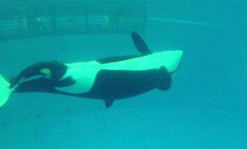 """""""Jūrų pasaulio"""" vandens parke gimė paskutinė orka nelaisvėje"""