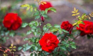 Gudrybė, dėl kurios rožių žiedai džiugins ne vieną kartą