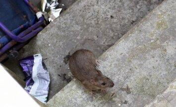 Žiurkė (U.Mikaliūno nuotr. )