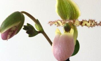 Orchidėja, kuri primena princesės batelį