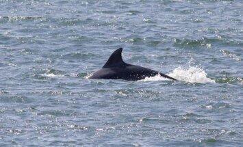Jūroje prie Klaipėdos plaukiojantys delfinai