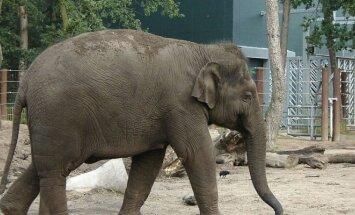Azijinis dramblys