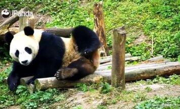 """""""Slaptas pandų gyvenimas"""" (63 serija): sulūžę daiktai prikeliami naujam gyvenimui"""