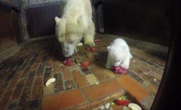 Berlyno zoologijos sode baltųjų lokių jauniklis mokosi valgyti