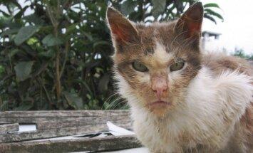 Pasiutligės kamuojamas katinas