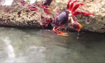 Krabų invazija į Kiaulių įlanką Kuboje