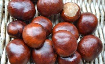 Kaštono sėklas malonu laikyti delne, iš jų gaminami vaistai, pasėtos jos gerai sudygsta.