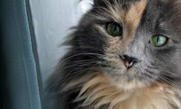 Ilgaplaukė katė