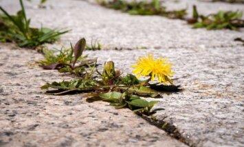 Ar piktžolės gali būti naudingos?